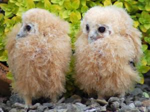 mottled_owlets-big-300x225.jpg